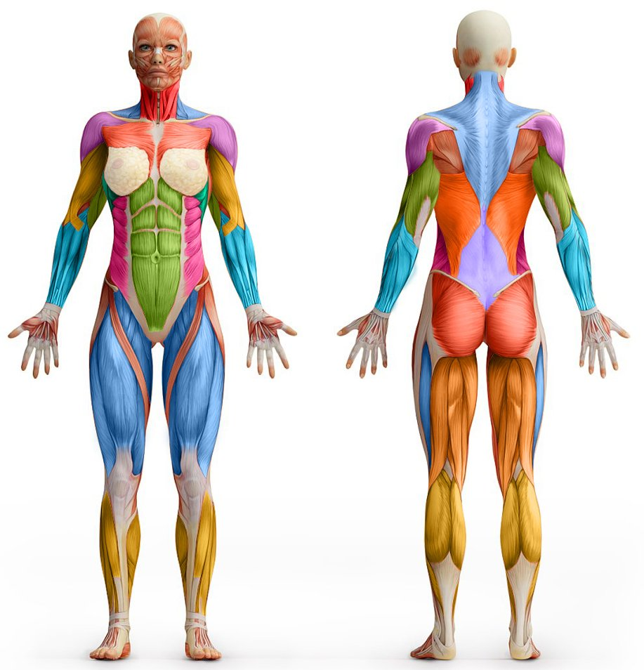 Woman anatomy art